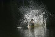 Fischadler3