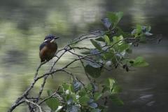 1_Eisvogel